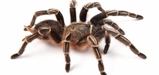 depositphotos_35855973-stock-photo-costarican-zebra-tarantula-also-known